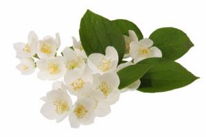 jasmine-kukka